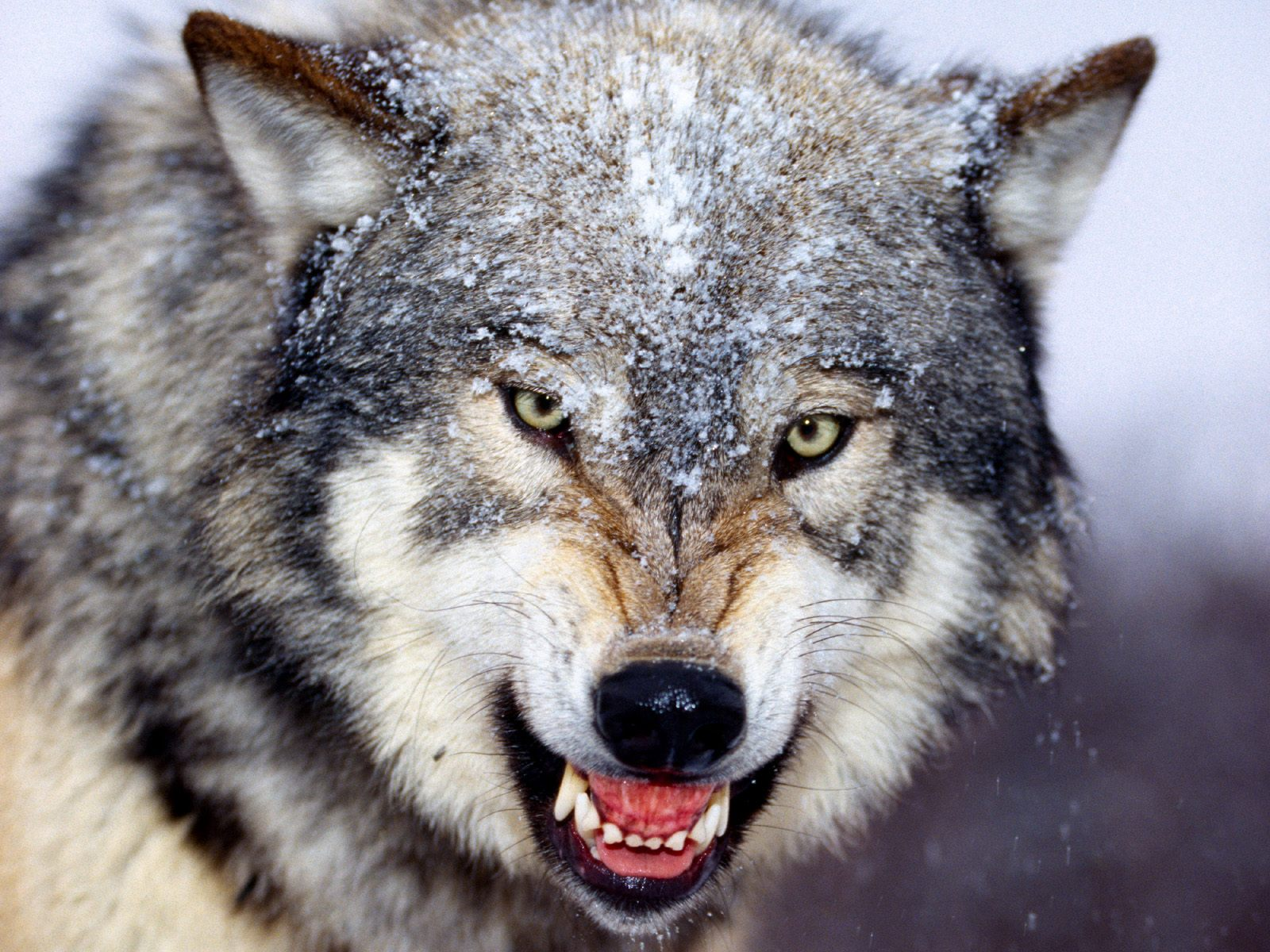 The era of the grey wolf and islam the five beasts the era of the grey wolf and islam biocorpaavc